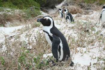 Boulder's Bay Brillenpinguin in Suedafrika