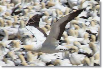 Colonie Cape Gannet Bird Island Lamberts Bay South Africa
