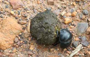 Dung Beetle Pillendreher Käfer Addo National Park