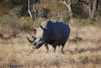 Kruger National Park Nashorn Safari Rhino Big 5