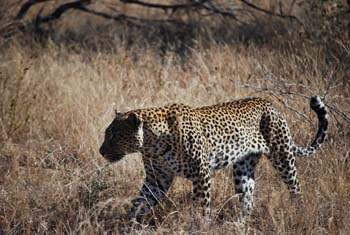 Kruger National Park Big 5 Leopard Tierwelt Safari