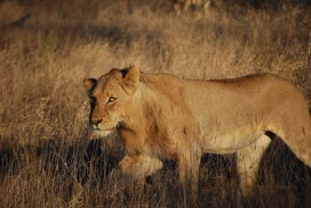 junger Löwe Kruger National Park Safari