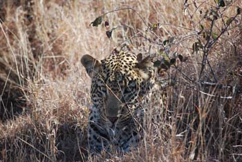 Kruger National Park Tierwelt Leopard Safari